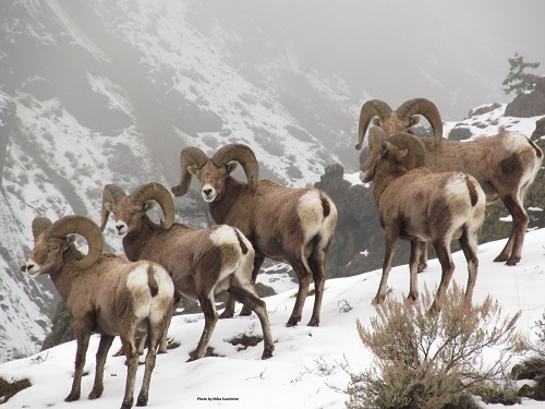 Wildlife Groups Host Town Hall to Save Wild Sheep